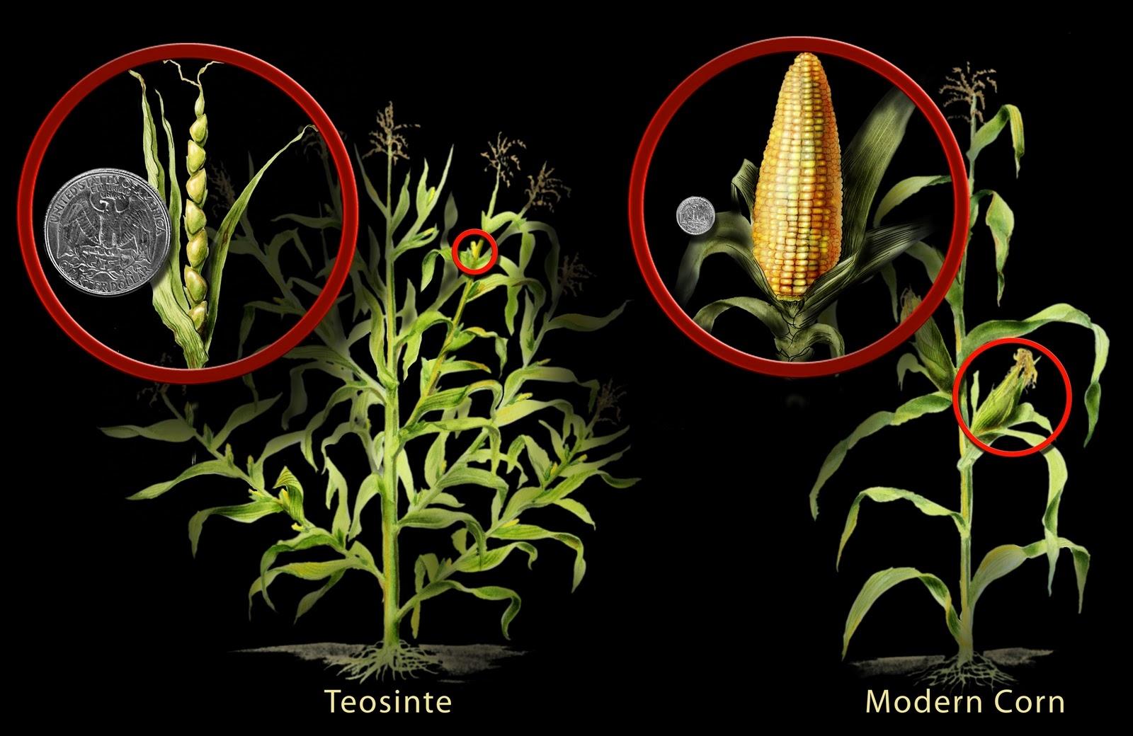 Resultado de imagem para natural corn