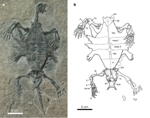 Odontochelys a turtle ancestor, missing link, intermediate fossil.