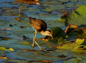 A comb-crested jacana (Irediparra gallinacea) near where I am currently living.