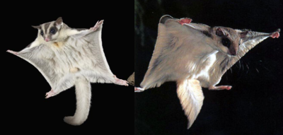 A sugar glider (left) and flying squirrel (right). Despite appearing similar, they are actually very distantly related, and each species evolved to be similar via convergent evolution.